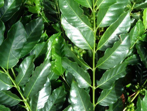 Green Sumatra Coffee