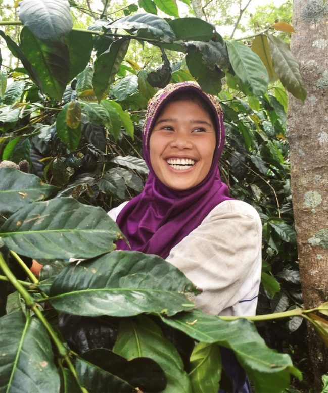Picking Coffee Sumatra