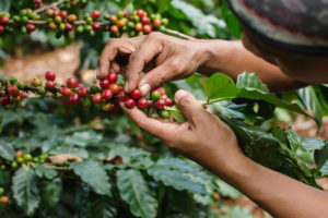 harvesting coffee cherries