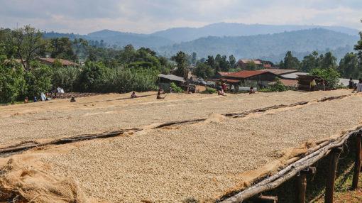 Ethiopia Kayon Guji Coffee Drying
